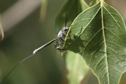 Wasp (Family Gasteruptiidae)