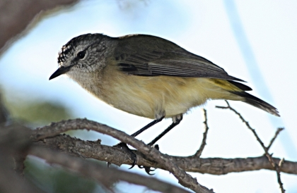 _01_I_Yellow-rumped_thornbill_800