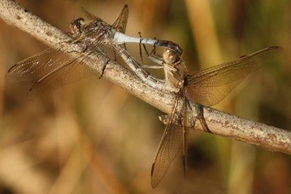 Blue Skimmers (Orthetrum caledonicum) Mating