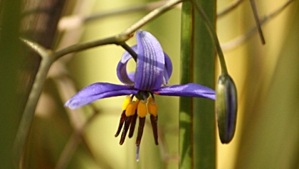 Black-Anther Flax-Lily (Dianella revoluta)