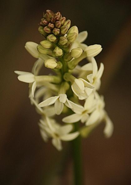 Creamy Candles (Stackhousia monogyna)