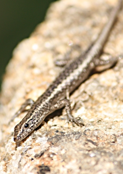 Carnaby's Wall Skink (Cryptoblepharus carnabyi)