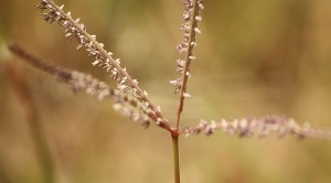 Windmill Grass (Chloris truncata)