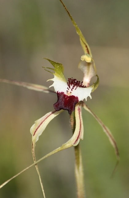 Mantis Orchid (Caladenia tentaculata), aka Green Comb, Fringed Spider Orchid