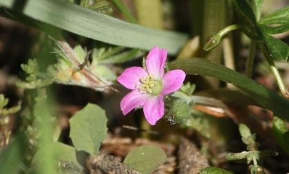 Native Geranium (Geranium solanderi)
