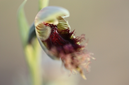 Purple Beard Orchid (Calochilus robertsonii)