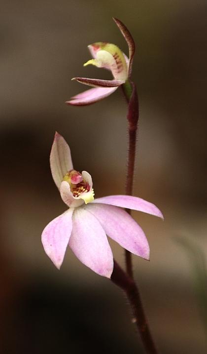 Pink Fingers (Caladenia carnea)