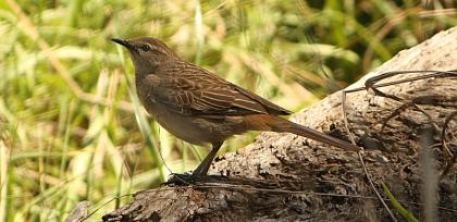 Rufous Songlark (Cinclorhamphus mathewsi)