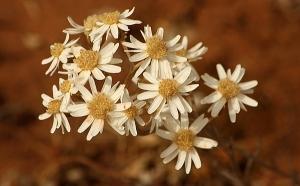 Small White Sunray (Rhodanthe corymbiflora)