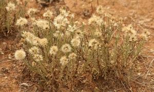Daisy (Vittadinia sp.)