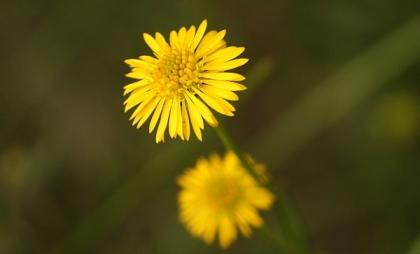Yellow Burr-Daisy (Calotis lappulacea)