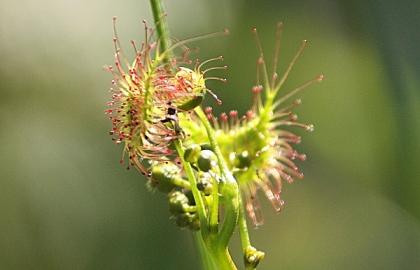 Sundew (Drosera sp.)