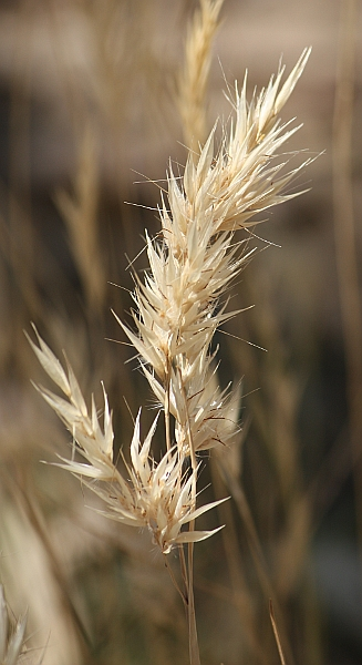 Wallaby Grass (Austrodanthonia sp.)