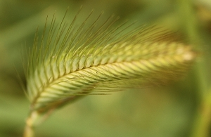 Barley Grass (Hordeum sp.)