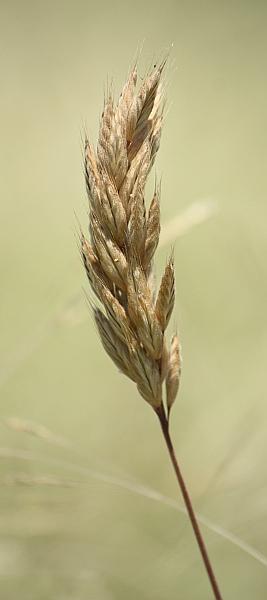 Soft Brome (*Bromus molliformis)