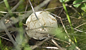 Puffball (Lycoperdon sp.)