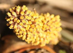 Mat-rush (Lomandra sp.)