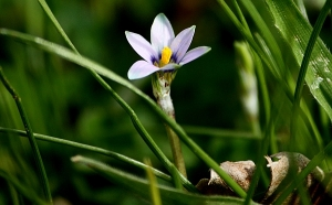 Small-Flowered Onion Grass (*Romulea minutiflora)