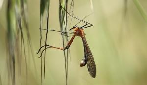 Scorpionfly (Harpobittacus sp.)