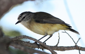 Yellow-rumped Thornbill (Acanthiza chrysorrhoa)