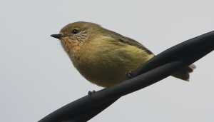 Yellow Thornbill (Acanthiza nana)