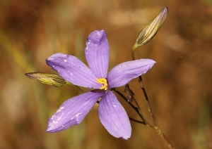 Finger Flower (Cheiranthera linearis)