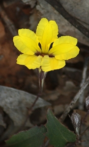Ivy Goodenia (Goodenia hederacea)