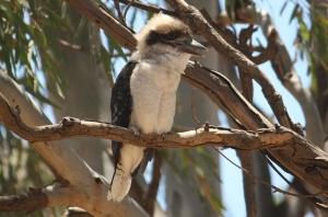 Laughing Kookaburra (Dacelo novaeguineae), Juvenile