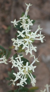 Shrubby Rice-Flower (Pimelea sp.)