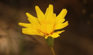 Murnong or Yam Daisy (Microseris lanceolata)