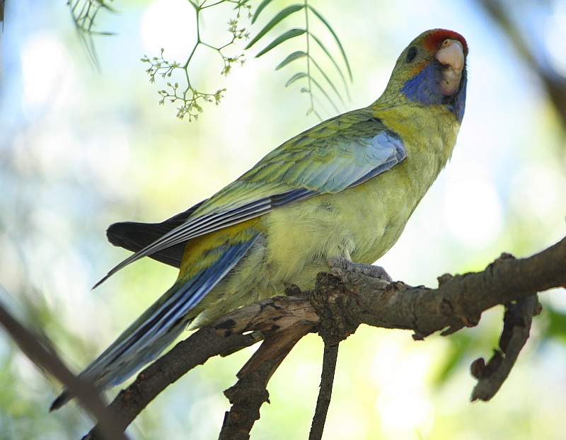 Image — Yellow Rosella | Birdwatching in Wagga Wagga