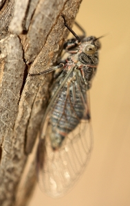 Cicada (Unknown Species)