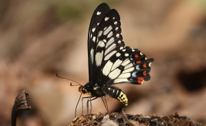 Dainty (or Dingy) Swallowtail (Papilio anactus)