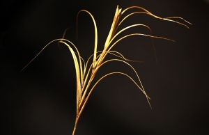 Common Wheat Grass (Elymus scaber)