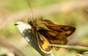 Greenish Grass-Dart (Ocybadistes walkeri)