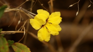 Goodenia (Goodenia sp.)