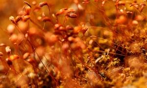 Bryophyte (Liverwort)