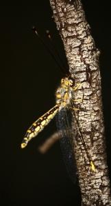 Yellow Owl-Fly (Suhpalacsa flavipes)