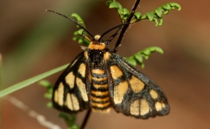 Wasp Moth (Amata sp.)