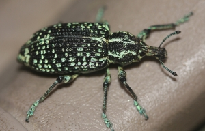 Diamond Beetle (Chrysolopus spectabilis)