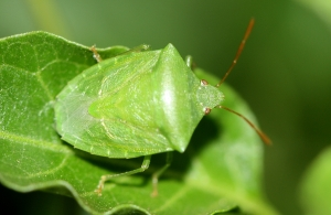 Green Potato Bug (Cuspicona simplex)