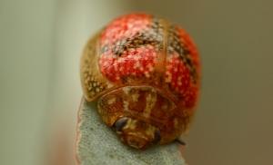 Eucalyptus Leaf Beetle (Paropsis variolosa)