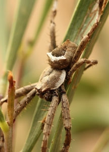 Orb-Weaving Spider (Possibly Eriophora or Araneus sp.)
