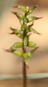 Rufous Midge Orchid (Genoplesium rufum)