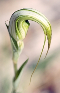 Sickle Greenhood (Pterostylis falcata)