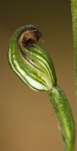 Tiny Greenhood (Pterostylis sp. aff. parviflora)