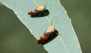 Yellowe-headed Leafhoppers (Brunotartessus fulvus)