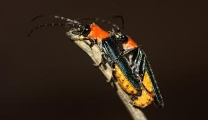 Tricolor Soldier Beetle (Chauliognathus tricolor)