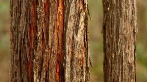 Red Stringybark (Eucalyptus macrorhyncha)