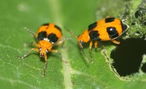 Pumpkin Beetle (Aulacophora hilaris)